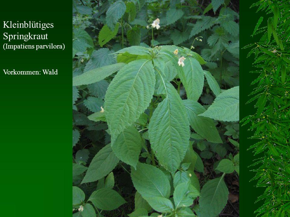 Kleinblütiges Springkraut (Impatiens parvilora) Vorkommen: Wald