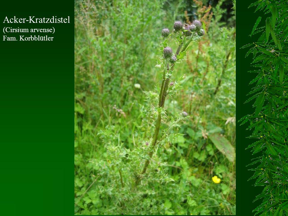 Acker-Kratzdistel (Cirsium arvense) Fam. Korbblütler