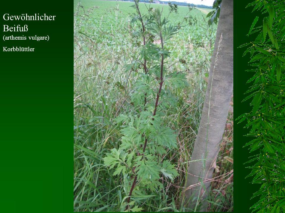 Gewöhnlicher Beifuß (arthemis vulgare) Korbblüttler