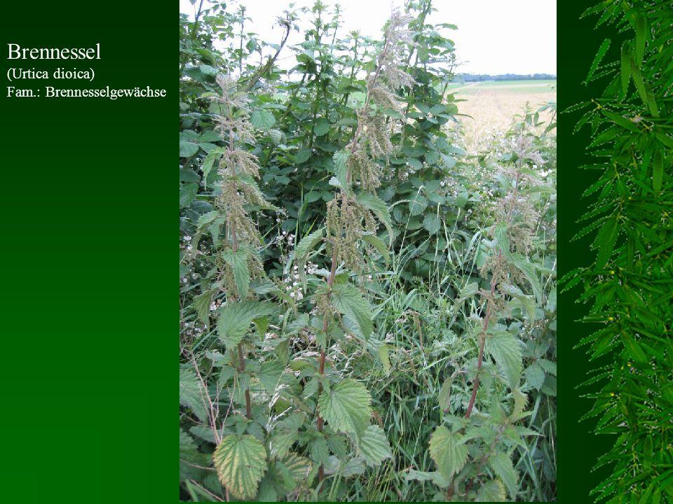 Brennessel (Urtica dioica) Fam.: Brennesselgewächse