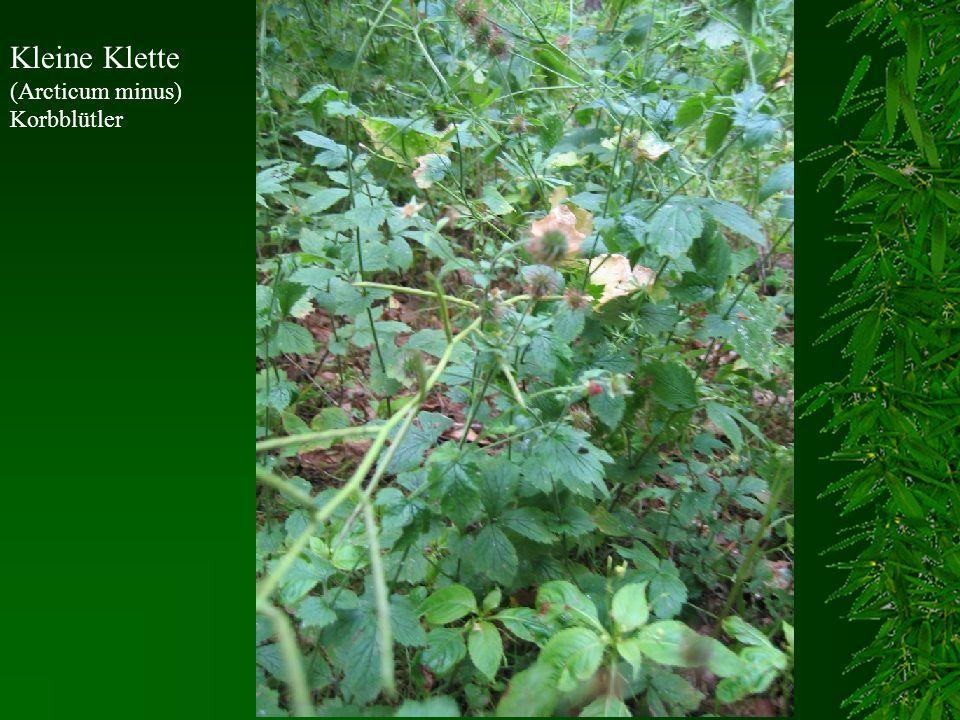 Kleine Klette (Arcticum minus) Korbblütler