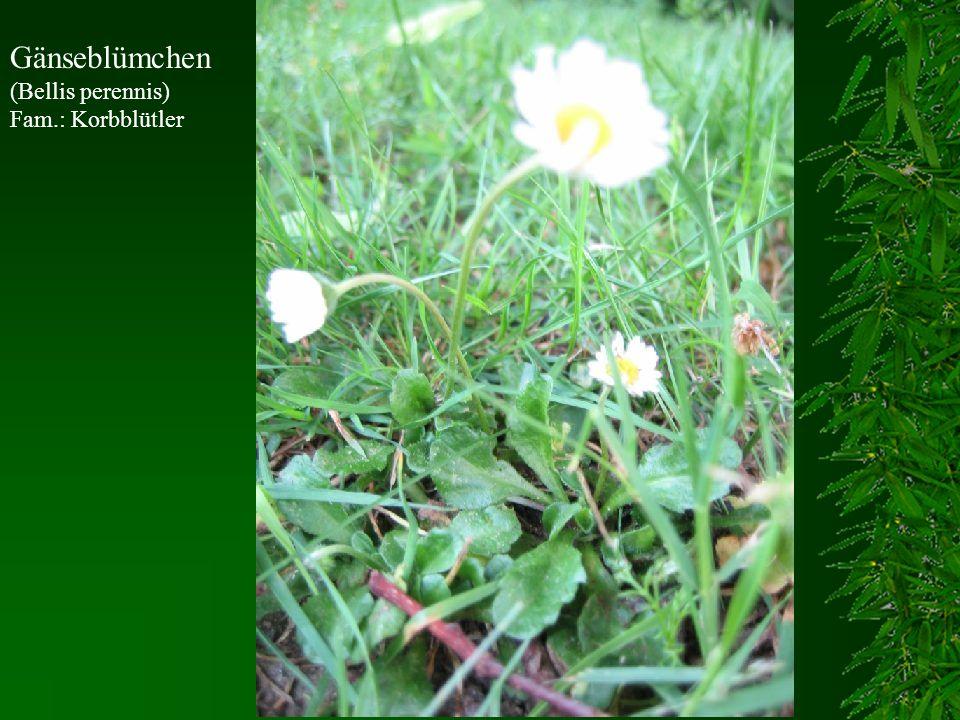 Gänseblümchen (Bellis perennis) Fam.: Korbblütler