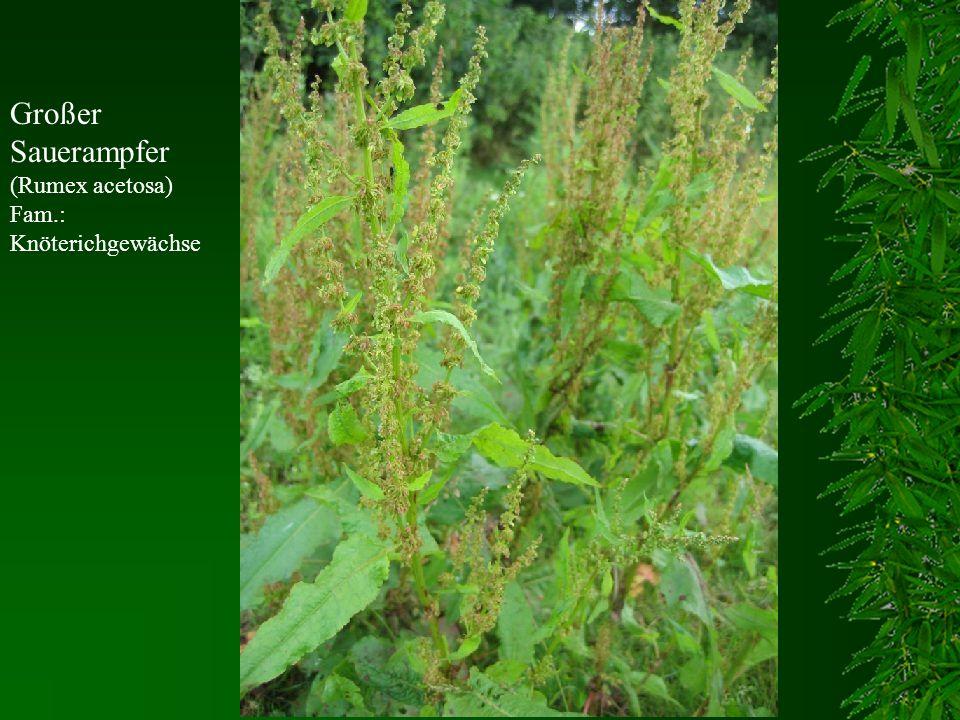 Großer Sauerampfer (Rumex acetosa) Fam.: Knöterichgewächse