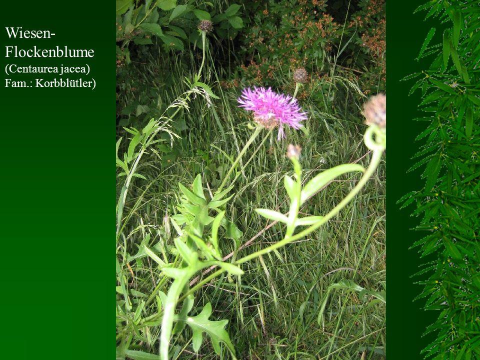 Wiesen- Flockenblume (Centaurea jacea) Fam.: Korbblütler)