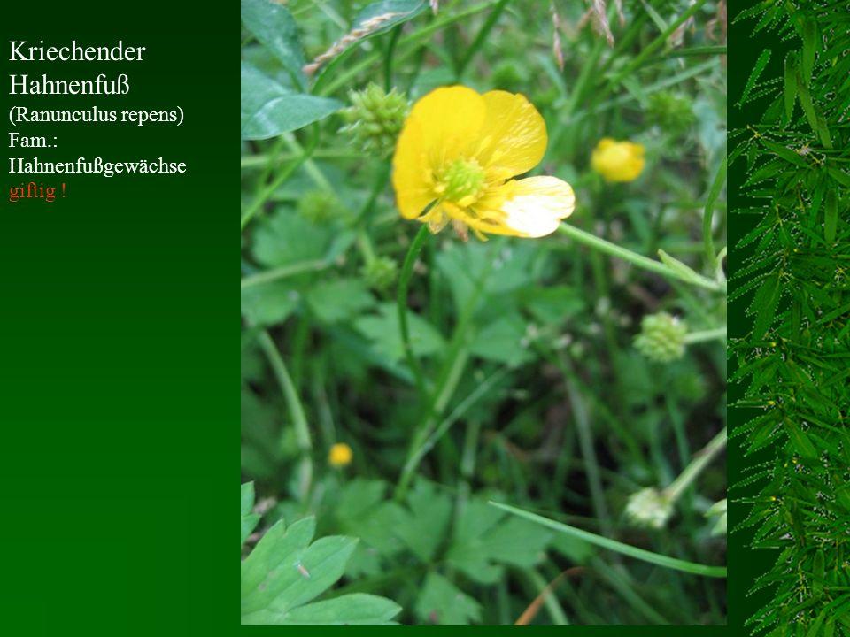 Kriechender Hahnenfuß (Ranunculus repens) Fam.: Hahnenfußgewächse giftig !
