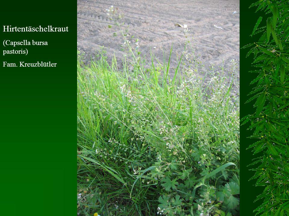 Hirtentäschelkraut (Capsella bursa pastoris) Fam. Kreuzblütler