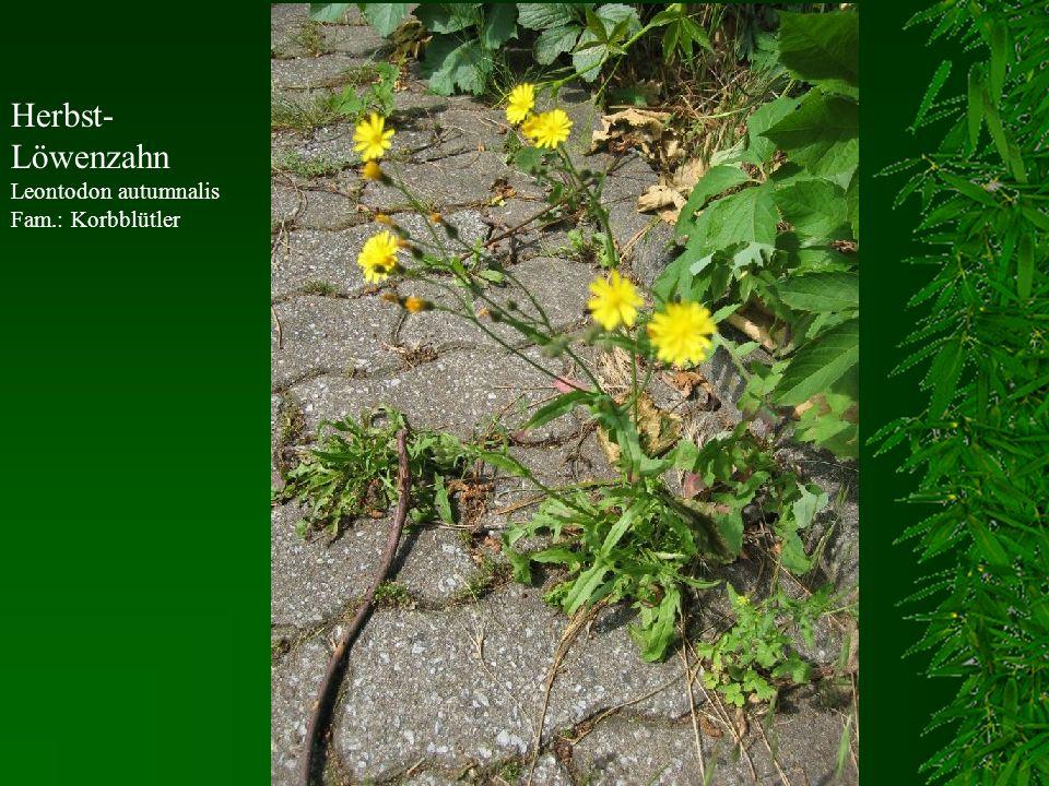 Herbst- Löwenzahn Leontodon autumnalis Fam.: Korbblütler