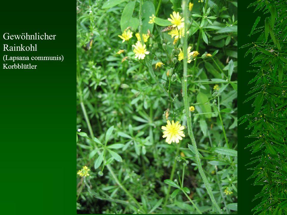 Gewöhnlicher Rainkohl (Lapsana communis) Korbblütler