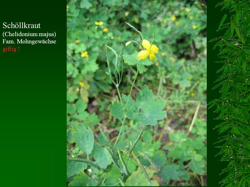 Schöllkraut (Chelidonium majus) Fam. Mohngewächse giftig !