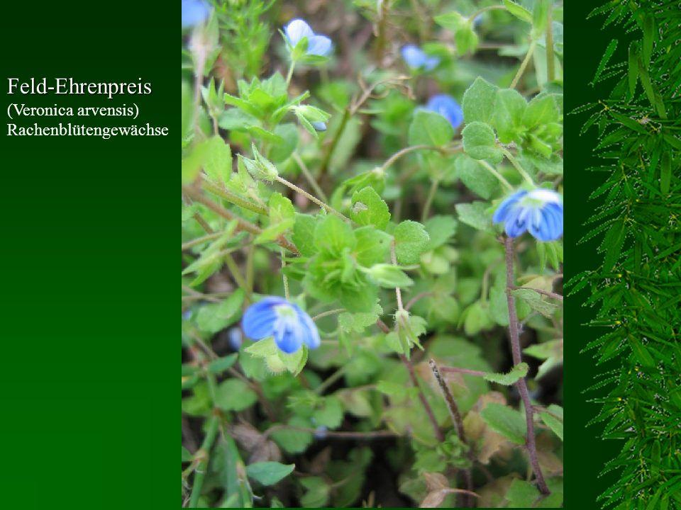 Feld-Ehrenpreis Feld-Ehrenpreis (Veronica arvensis) Rachenblütengewächse