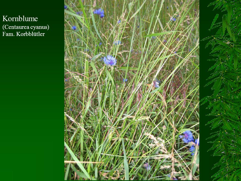 Kornblume (Centaurea cyanus) Fam. Korbblütler