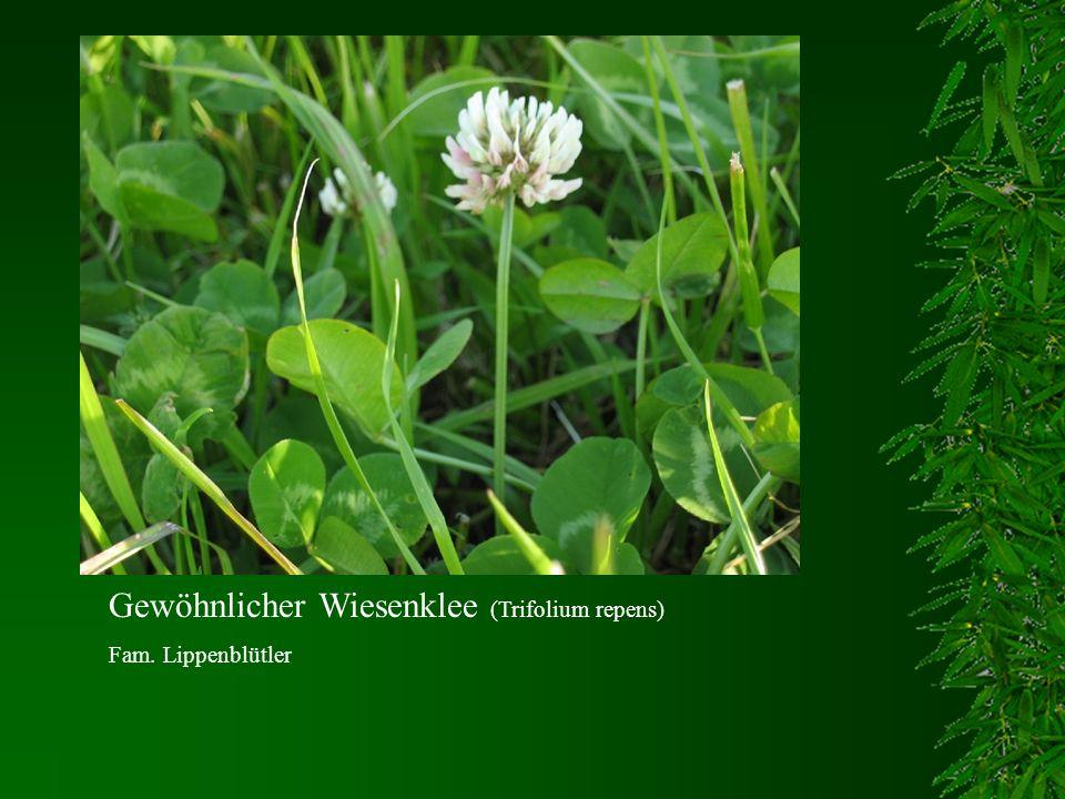 Gewöhnlicher Wiesenklee (Trifolium repens) Fam. Lippenblütler