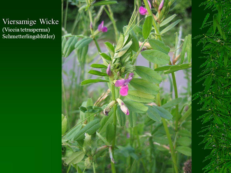 Viersamige Wicke Viersamige Wicke (Viccia tetrasperma) Schmetterlingsblütler)