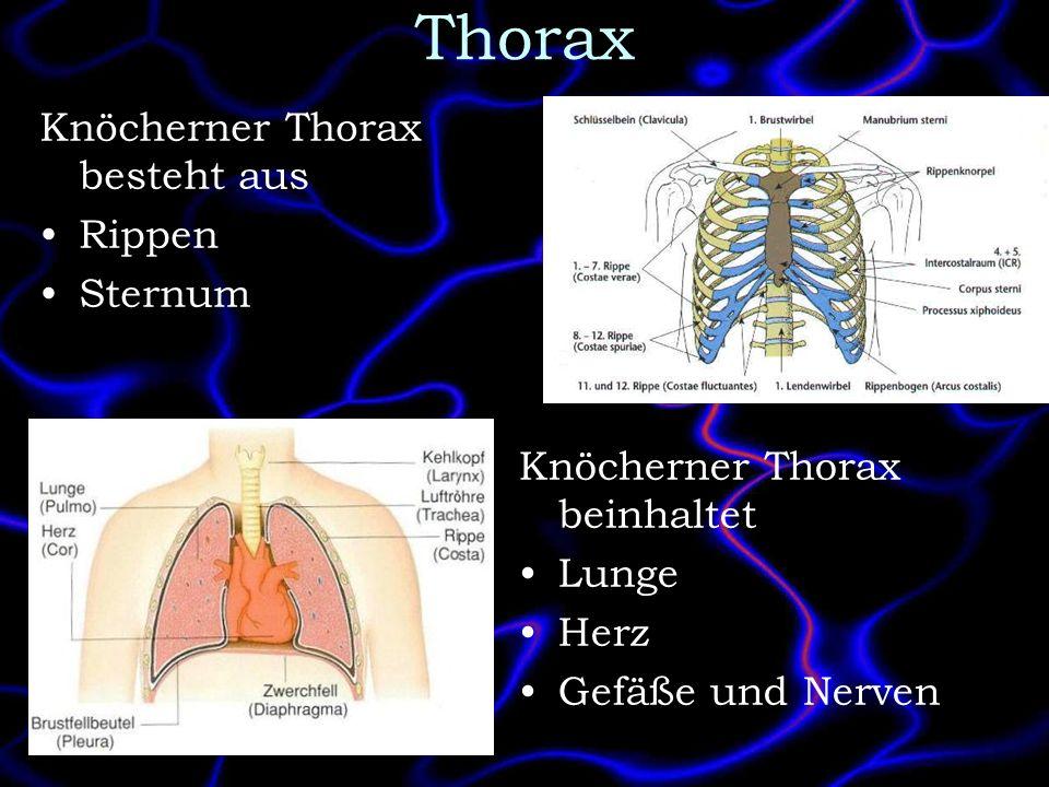 Thorax Knöcherner Thorax besteht aus Rippen Sternum Knöcherner Thorax beinhaltet Lunge Herz Gefäße und Nerven