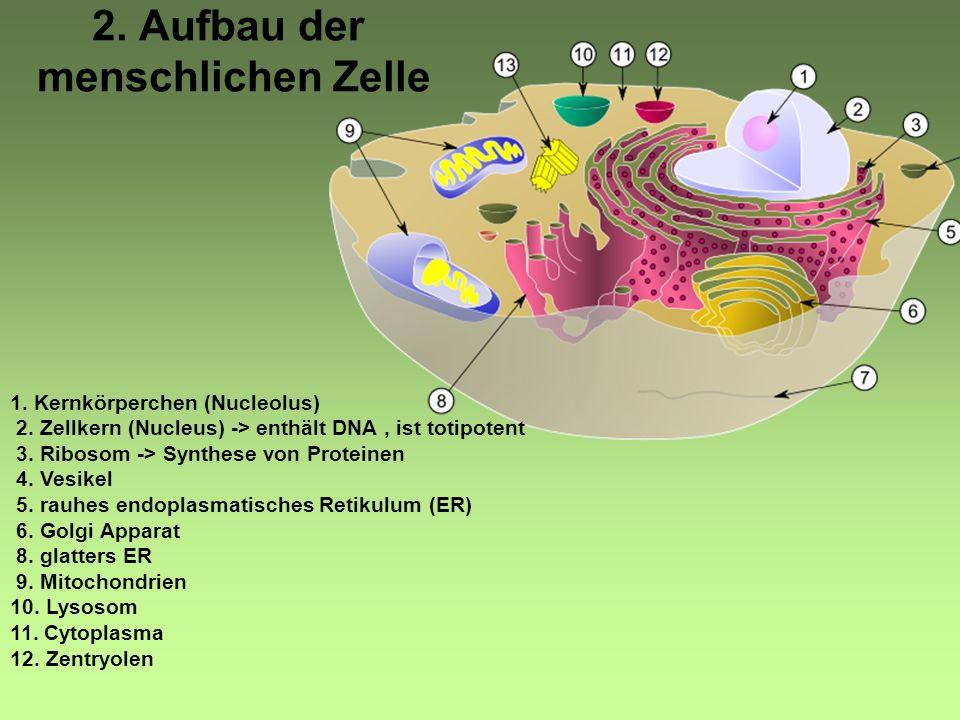2.Aufbau der menschlichen Zelle 1. Kernkörperchen (Nucleolus) 2.