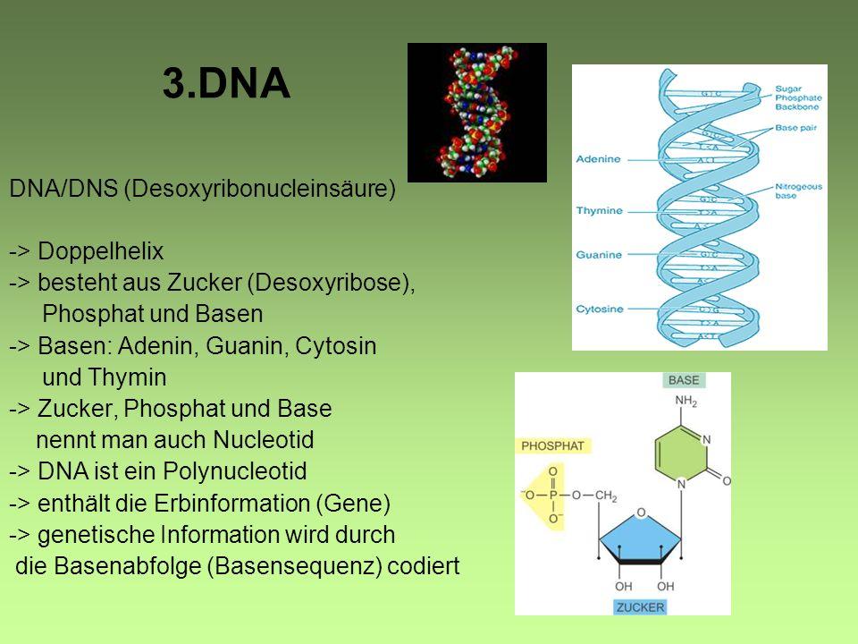 3.DNA DNA/DNS (Desoxyribonucleinsäure) -> Doppelhelix -> besteht aus Zucker (Desoxyribose), Phosphat und Basen -> Basen: Adenin, Guanin, Cytosin und Thymin -> Zucker, Phosphat und Base nennt man auch Nucleotid -> DNA ist ein Polynucleotid -> enthält die Erbinformation (Gene) -> genetische Information wird durch die Basenabfolge (Basensequenz) codiert