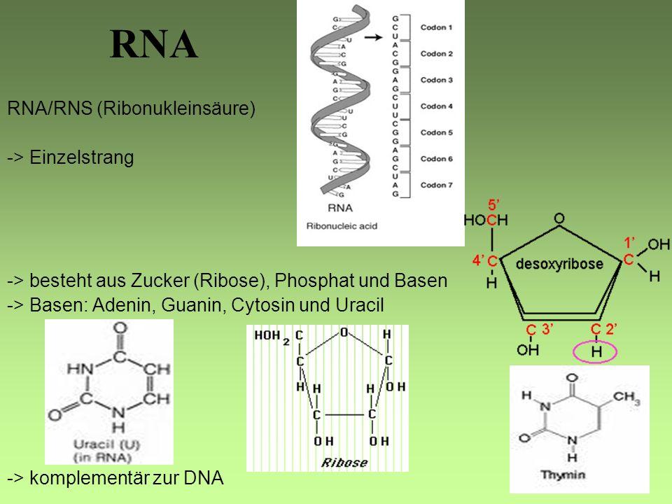 RNA RNA/RNS (Ribonukleinsäure) -> Einzelstrang -> besteht aus Zucker (Ribose), Phosphat und Basen -> Basen: Adenin, Guanin, Cytosin und Uracil -> komplementär zur DNA