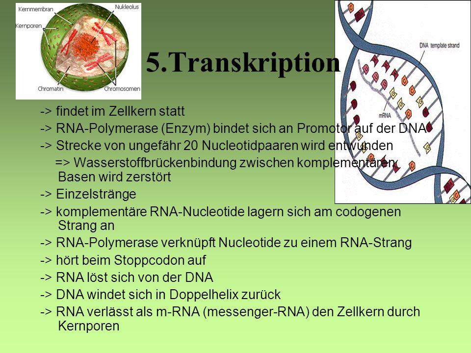 5.Transkription -> findet im Zellkern statt -> RNA-Polymerase (Enzym) bindet sich an Promotor auf der DNA -> Strecke von ungefähr 20 Nucleotidpaaren wird entwunden => Wasserstoffbrückenbindung zwischen komplementären Basen wird zerstört -> Einzelstränge -> komplementäre RNA-Nucleotide lagern sich am codogenen Strang an -> RNA-Polymerase verknüpft Nucleotide zu einem RNA-Strang -> hört beim Stoppcodon auf -> RNA löst sich von der DNA -> DNA windet sich in Doppelhelix zurück -> RNA verlässt als m-RNA (messenger-RNA) den Zellkern durch Kernporen