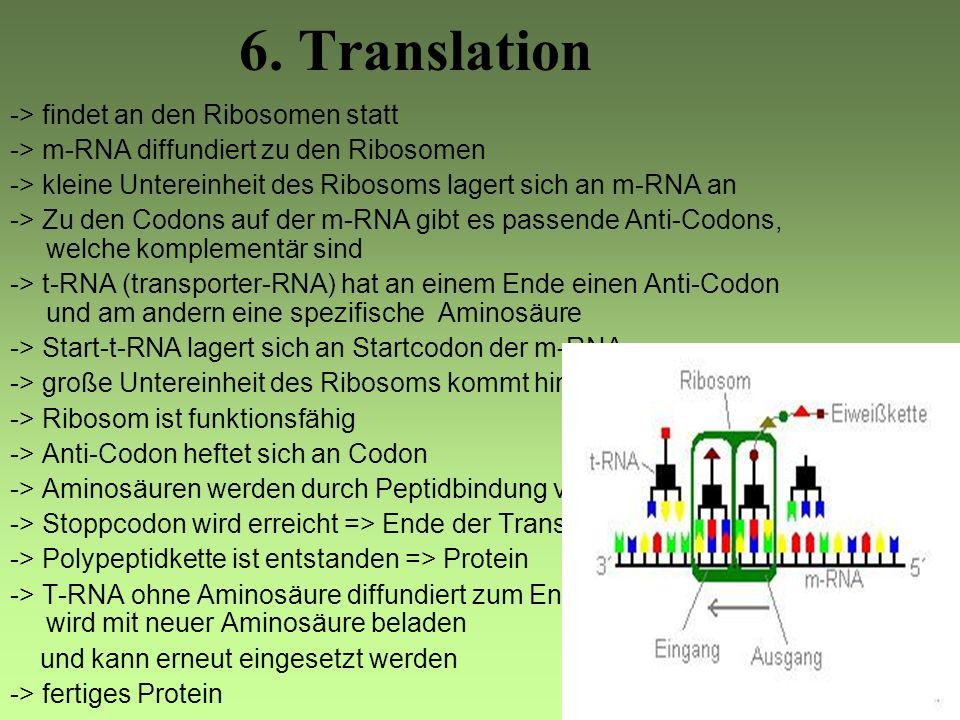 5.Transkription -> findet im Zellkern statt -> RNA-Polymerase (Enzym) bindet sich an Promotor auf der DNA -> Strecke von ungefähr 20 Nucleotidpaaren w