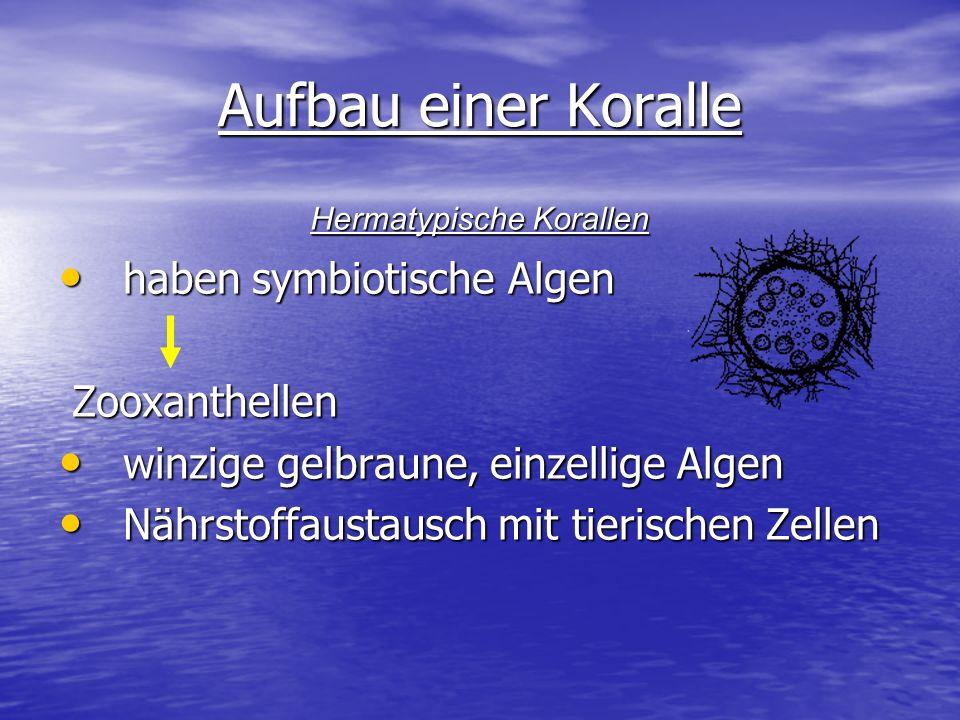 Aufbau einer Koralle haben symbiotische Algen haben symbiotische Algen Zooxanthellen Zooxanthellen winzige gelbraune, einzellige Algen winzige gelbrau