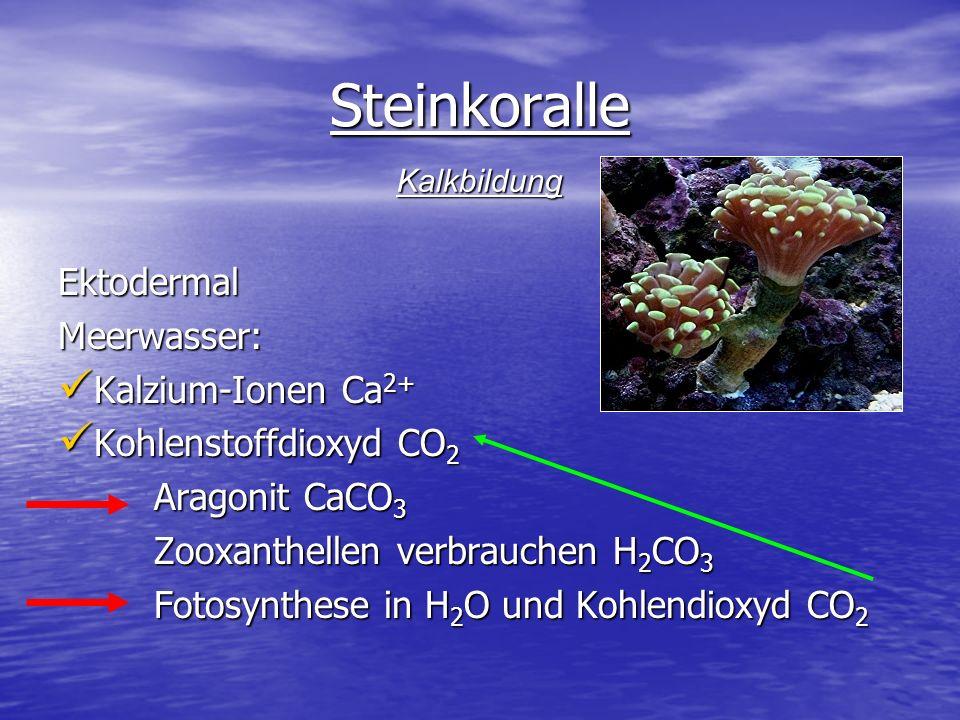 Steinkoralle EktodermalMeerwasser: Kalzium-Ionen Ca 2+ Kalzium-Ionen Ca 2+ Kohlenstoffdioxyd CO 2 Kohlenstoffdioxyd CO 2 Aragonit CaCO 3 Aragonit CaCO