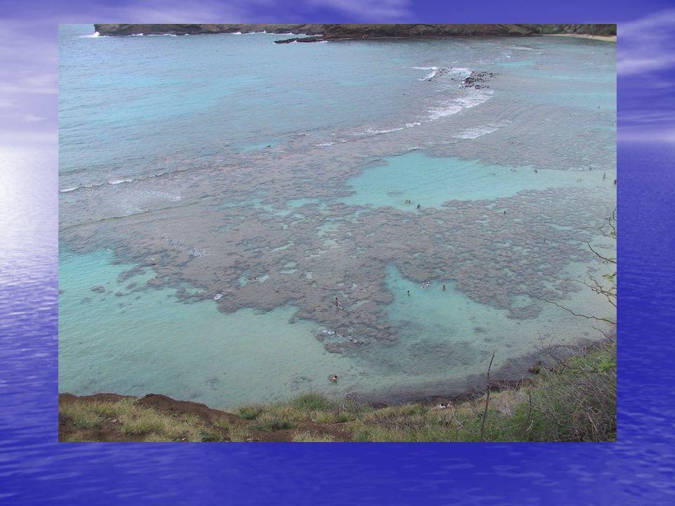 Typen von Korallen hermatypische Korallen hermatypische Korallen –Riffbildende Korallen ahermatypische Korallen ahermatypische Korallen –Nicht riffbildende Korallen