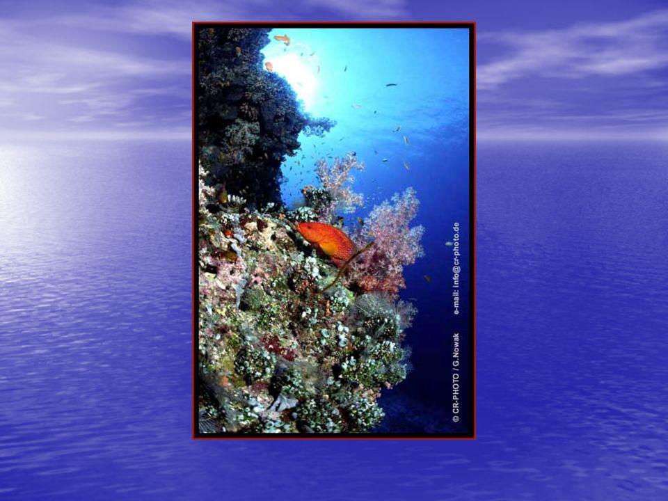 Aufbau einer Koralle haben symbiotische Algen haben symbiotische Algen Zooxanthellen Zooxanthellen winzige gelbraune, einzellige Algen winzige gelbraune, einzellige Algen Nährstoffaustausch mit tierischen Zellen Nährstoffaustausch mit tierischen Zellen Hermatypische Korallen
