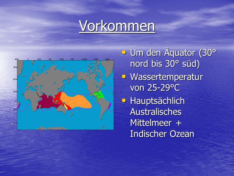 Vorkommen Um den Äquator (30° nord bis 30° süd) Um den Äquator (30° nord bis 30° süd) Wassertemperatur von 25-29°C Wassertemperatur von 25-29°C Haupts