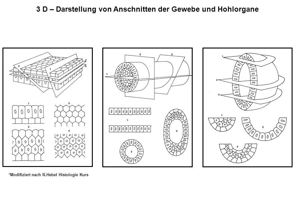 3 D – Darstellung von Anschnitten der Gewebe und Hohlorgane *Modifiziert nach R.Hebel Histologie Kurs