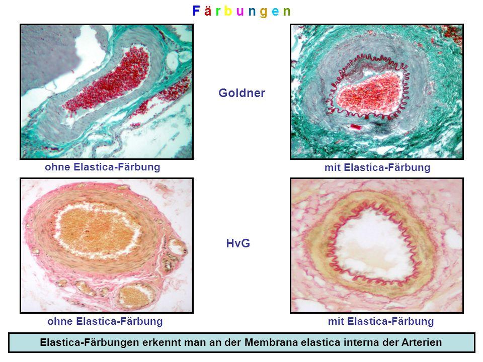 F ä r b u n g e nF ä r b u n g e n Goldner ohne Elastica-Färbung mit Elastica-Färbung HvG ohne Elastica-Färbungmit Elastica-Färbung Elastica-Färbungen