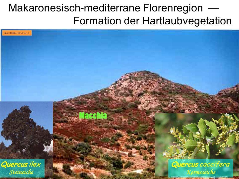 Submediterrane Florenregion Castanea sativa Eßkastanie.