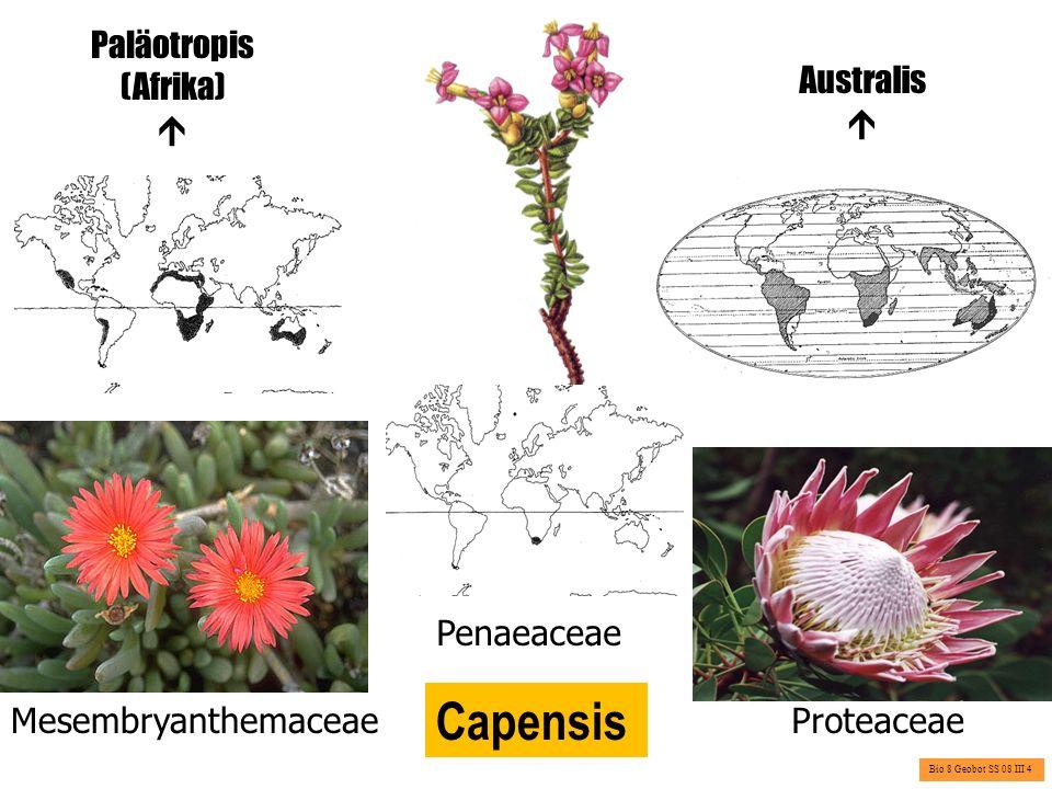 Australis Charakteristische Pflanzenfamilien oder –gattungen: Eucalyptus (Myrtaceae), Xanthorrhoeaceae ( Grasbäume ) Eucalyptus Xanthorrhoea Bio 8 Geobot SS 08 III 5
