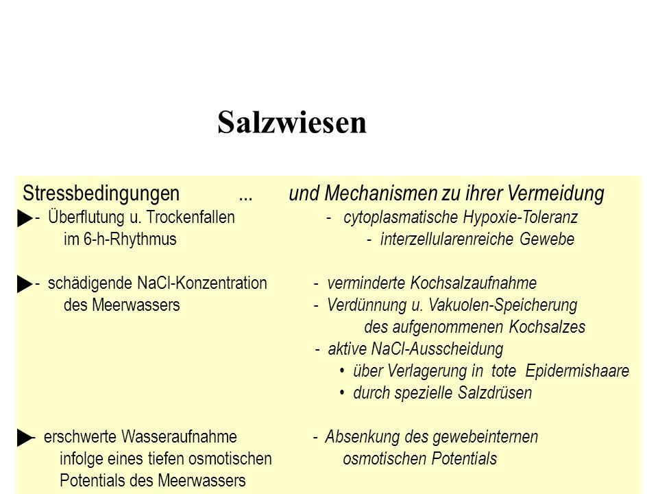 Salzwiesen Stressbedingungen... und Mechanismen zu ihrer Vermeidung - Überflutung u. Trockenfallen - cytoplasmatische Hypoxie-Toleranz im 6-h-Rhythmus