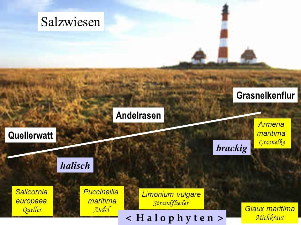 Salzwiesen Salicornia europaea Queller Quellerwatt Puccinellia maritima Andel Andelrasen Limonium vulgare Strandflieder Glaux maritima Michkraut Armer