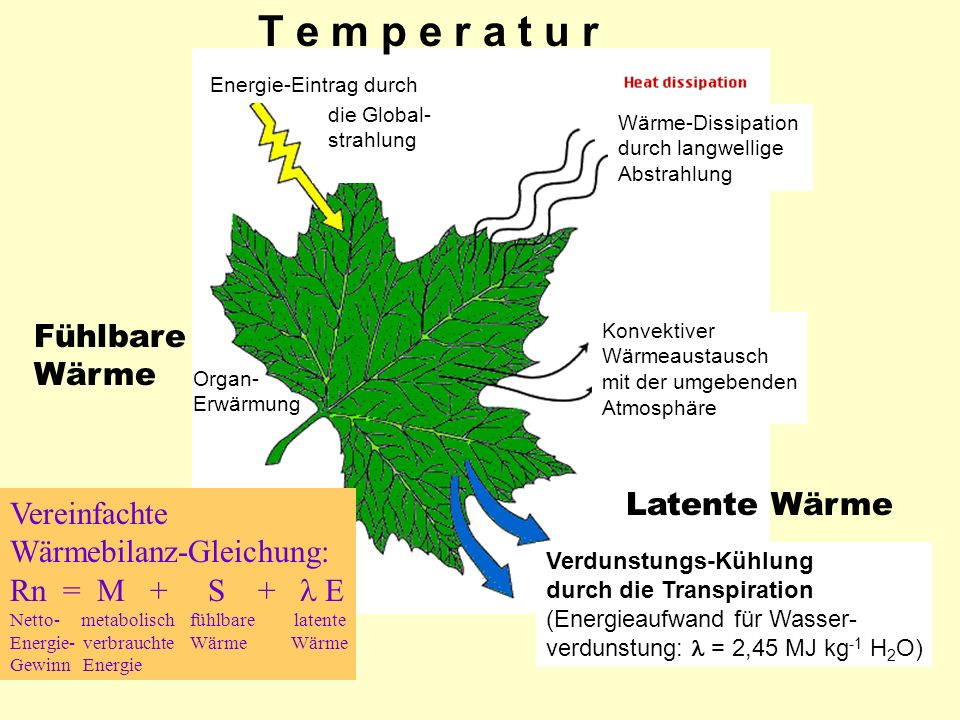 Wärme-Dissipation durch langwellige Abstrahlung Konvektiver Wärmeaustausch mit der umgebenden Atmosphäre Verdunstungs-Kühlung durch die Transpiration