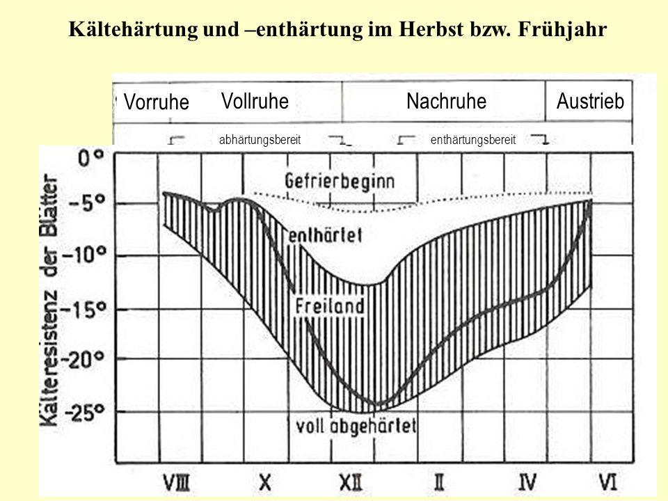 Kältehärtung und –enthärtung im Herbst bzw. Frühjahr Vorruhe VollruheNachruheAustrieb abhärtungsbereitenthärtungsbereit