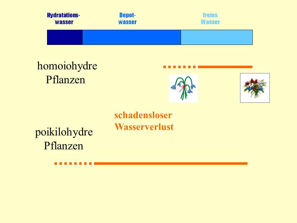 Hydratations- Depot- freies wasser wasser Wasser homoiohydre Pflanzen schadensloser Wasserverlust poikilohydre Pflanzen