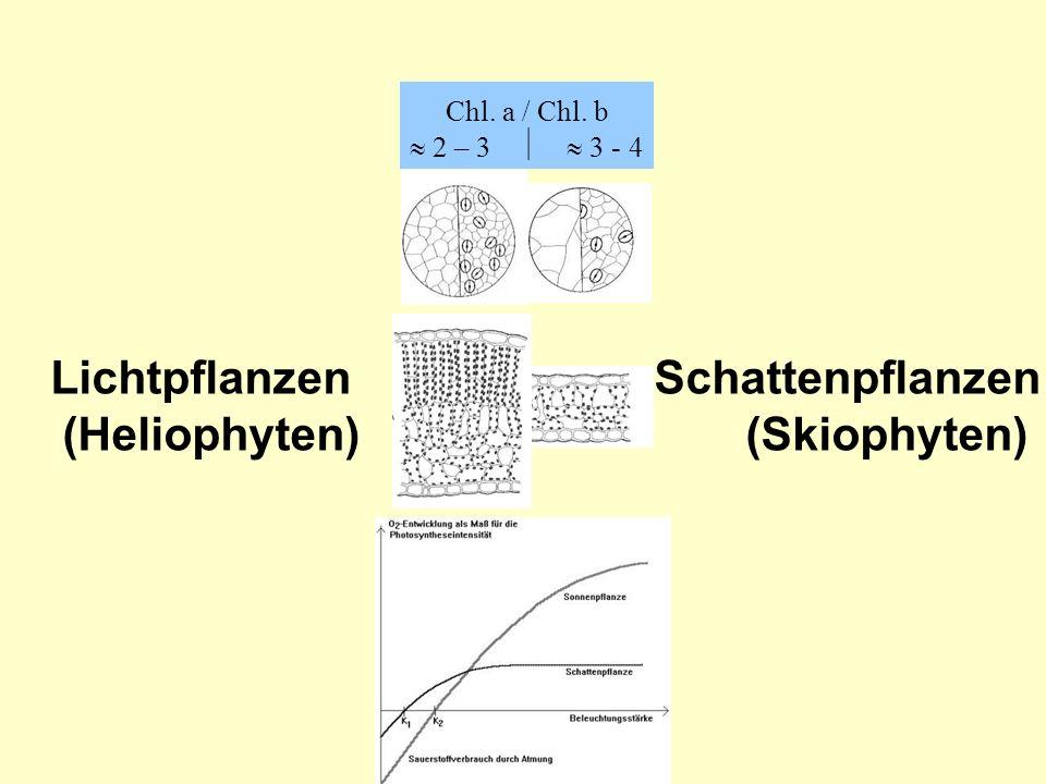 Photo-oxidativer Stress >> Photoinhibition Schutzmöglichkeiten: Radikalabsorber Moleküle (z.B.