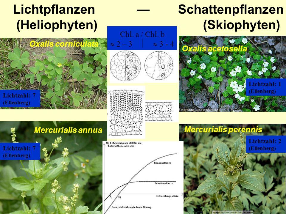 Lichtpflanzen Schattenpflanzen (Heliophyten) (Skiophyten) Oxalis acetosella Oxalis corniculata Mercurialis perennis Mercurialis annua Lichtzahl: 7 (El