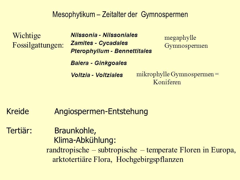 Mesophytikum – Zeitalter der Gymnospermen Wichtige Fossilgattungen: Nilssonia - Nilssoniales Baiera - Ginkgoales Zamites - Cycadales Pterophyllum - Be