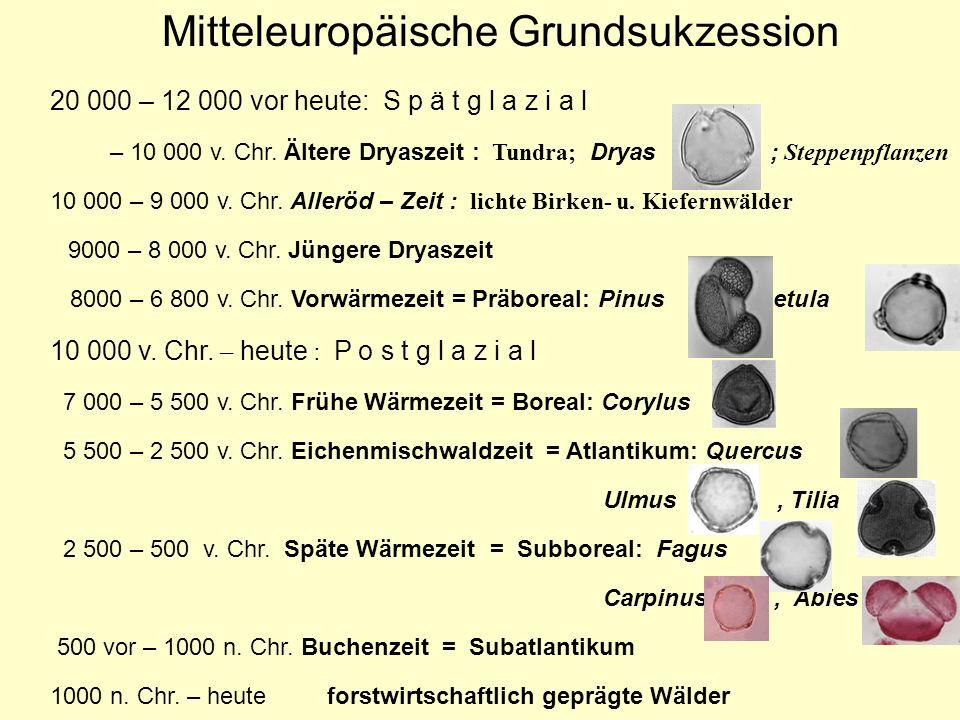 Mitteleuropäische Grundsukzession 20 000 – 12 000 vor heute: S p ä t g l a z i a l – 10 000 v. Chr. Ältere Dryaszeit : Tundra; Dryas ; Steppenpflanzen