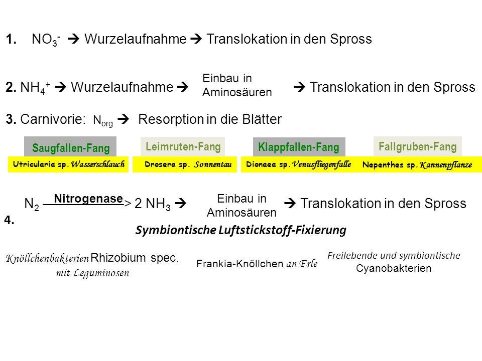 1. NO 3 - Wurzelaufnahme Translokation in den Spross 2. NH 4 + Wurzelaufnahme Translokation in den Spross Einbau in Aminosäuren 3. Carnivorie: N org R