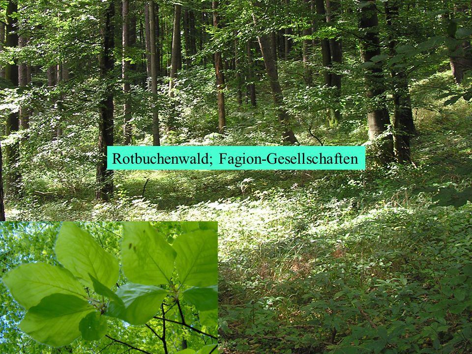 Rotbuchenwald; Fagion-Gesellschaften
