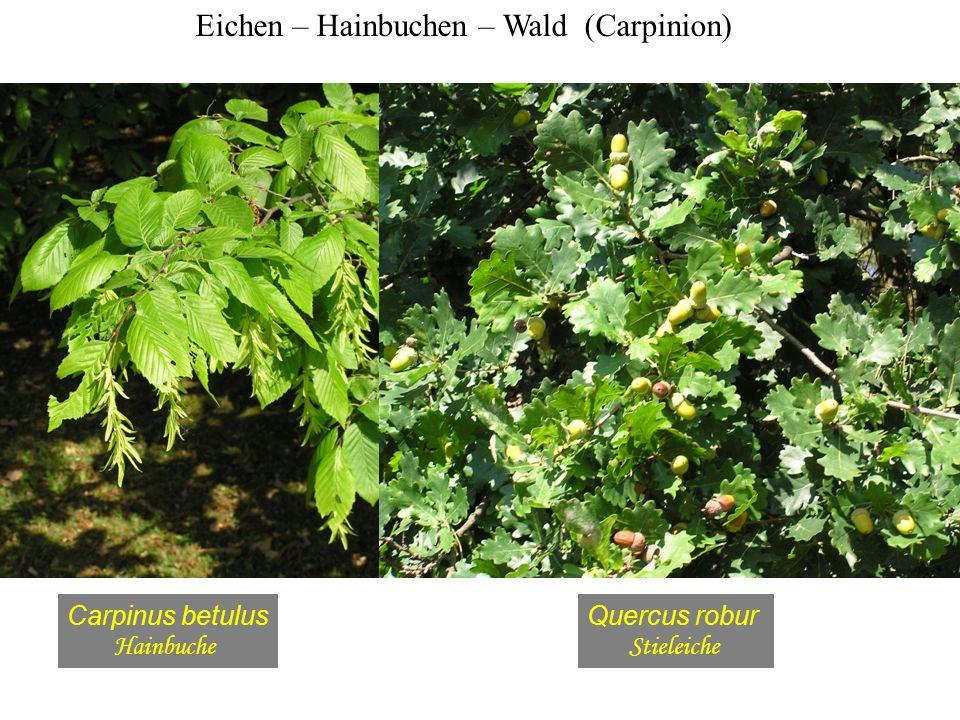 Eichen – Hainbuchen – Wald (Carpinion) Carpinus betulus Hainbuche Quercus robur Stieleiche