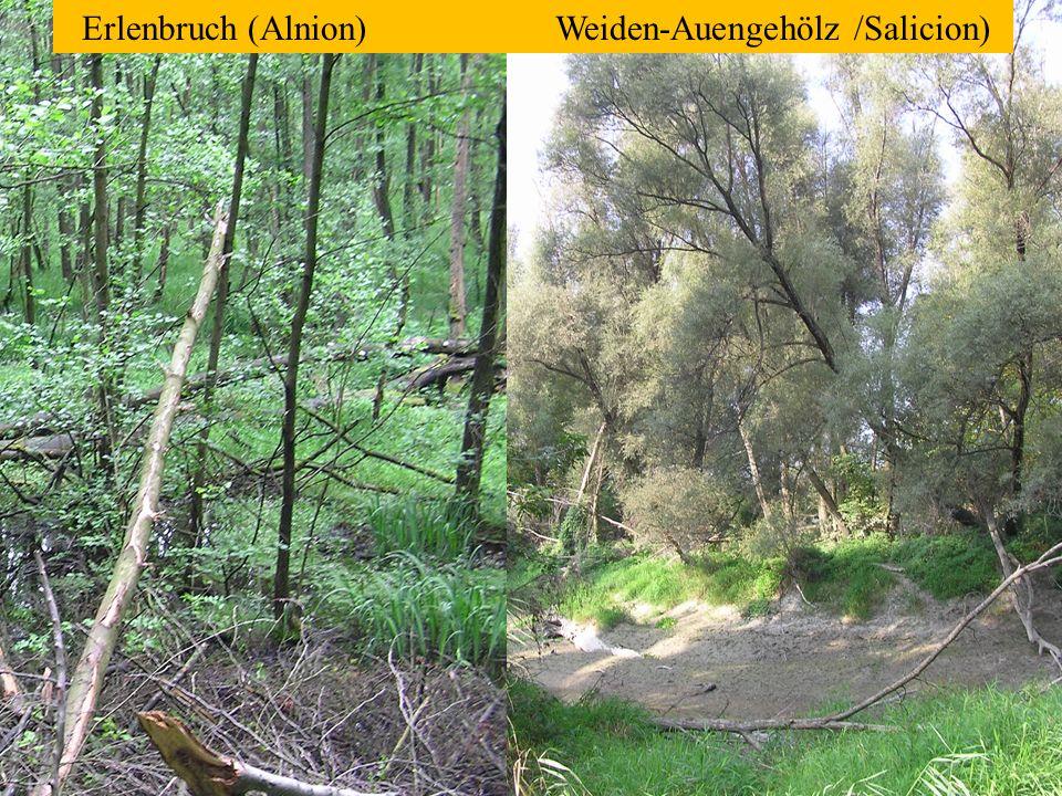 Erlenbruch (Alnion) Weiden-Auengehölz /Salicion)