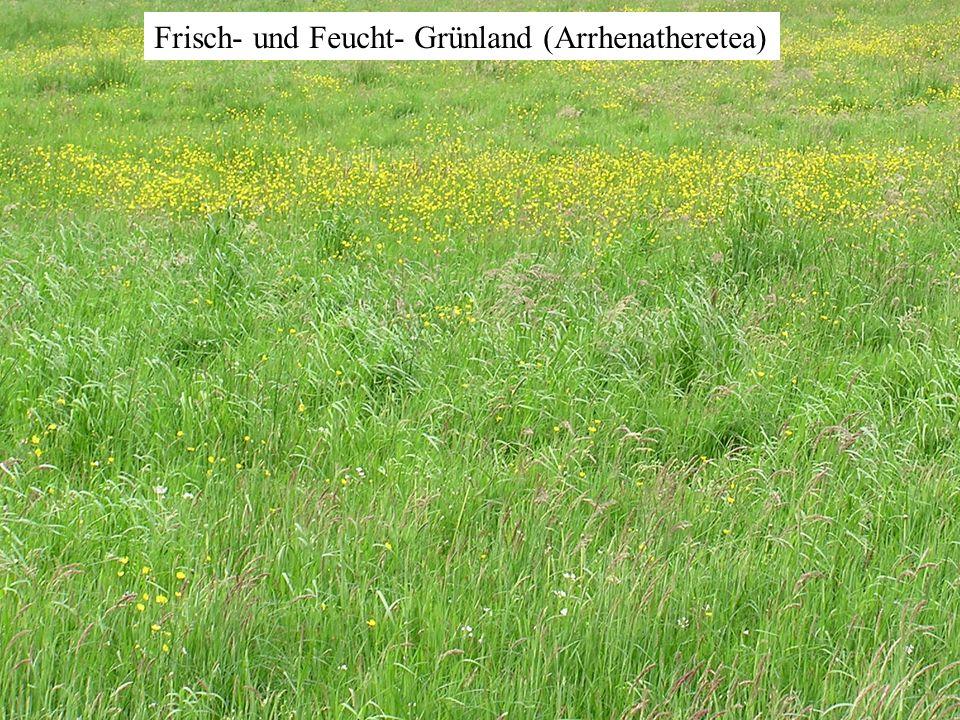 Frisch- und Feucht- Grünland (Arrhenatheretea)