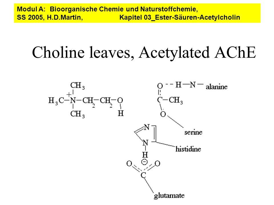 22 + Choline leaves, Acetylated AChE Modul A: Bioorganische Chemie und Naturstoffchemie, SS 2005, H.D.Martin, Kapitel 03_Ester-Säuren-Acetylcholin