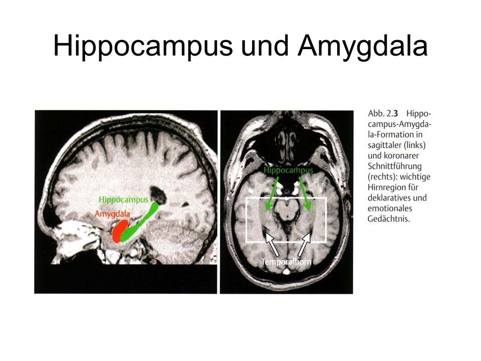Hippocampus und Amygdala