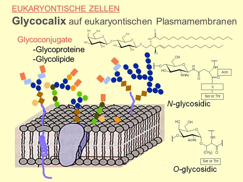 EUKARYONTISCHE ZELLEN Glycocalix auf eukaryontischen Plasmamembranen Glycoconjugate -Glycoproteine -Glycolipide O HN OH O OH HO OH O OH O OH HO OH O