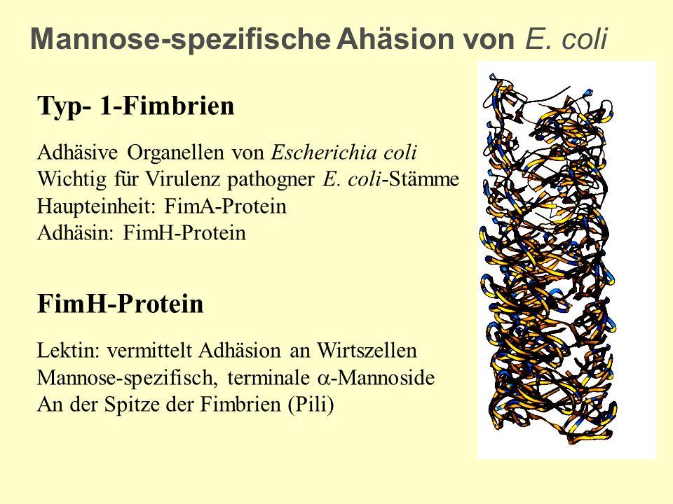 Mannose-spezifische Ahäsion von E. coli Typ- 1-Fimbrien Adhäsive Organellen von Escherichia coli Wichtig für Virulenz pathogner E. coli-Stämme Hauptei
